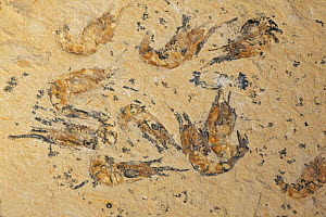Fossil Shrimps (Carpopenaeus callirostris) from the Cretaceous period, Hjoula, Lebanon  -  John Cancalosi