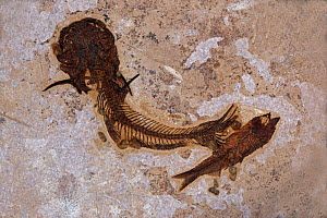 Fossil Catfish from the Eocene period, Green River Formation, Wyoming - John Cancalosi