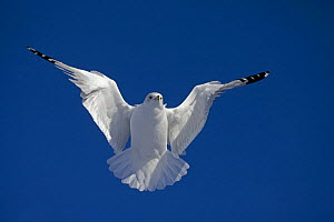 Ring-billed gull (Larus delawarensis) in flight, New York, USA - John Cancalosi