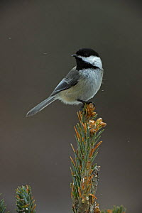 Black capped chickadee (Poecile atricapillus) perched on conifer, New York, USA  -  John Cancalosi