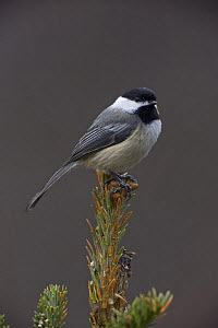 Black capped chickadee (Parus / Poecile atricapillus) perched on conifer, New York, USA  -  John Cancalosi