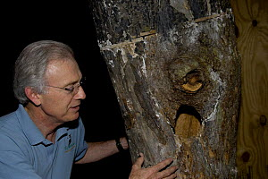 Tim Gallagher looking at Ivory-billed woodpecker (Campephilus principalis) nest in Red maple. Cornell Lab of Ornithology, Ithaca, New York, USA  -  John Cancalosi