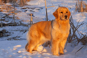Female Golden retriever standing in snow at edge of cattail marsh, late afternoon, Wisconsin, USA - Lynn M Stone