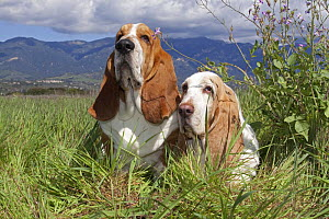 Pair of Basset hounds in high grass, with wild phlox, Southern California, USA  -  Lynn M Stone