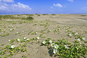 Beach morning glory (Calystegia soldanella) in flower, South Padre Island, Texas, USA, May 2009  -  Rob Tilley