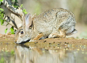 Desert cottontail rabbit (Sylvilagus audubonii) drinking, Santa Clara Ranch, Rio Grande Valley, Texas, USA - Rob Tilley