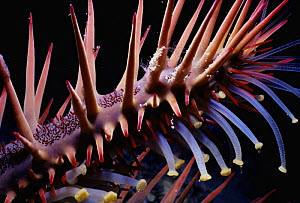 Arm and tubed feet of Crown of thorns starfish (Acanthaster planci) at night, Red Sea, Egypt  -  Jeff Rotman