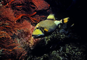 Giant / Titan triggerfish (Balistoides viridescens) swimming past coral, Red Sea  -  Jeff Rotman