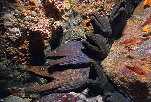 Fine-spotted moray eels (Gymnothorax dovii) living in coral cracks, with continuously open mouths to breath, Malpelo Island, Colombia, Pacific Ocean  -  Jeff Rotman