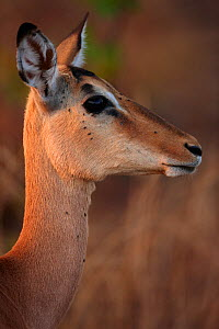 Impala (Aepyceros melampus) female with several Ticks (Acari) on her face and neck, Kruger National Park, South Africa  -  David Noton