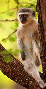 Vervet monkey (Chlorocebus / Cercopithecus aethiops) female sitting in tree, Kruger National Park, South Africa - David Noton