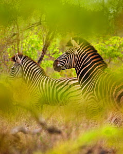 Common zebra (Equus quagga) in the bush, Kruger National Park, South Africa  -  David Noton