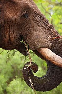 Close up of African elephant (Loxodonta africana) head and tusks feeding in the bush, Kruger National Park, South Africa - David Noton