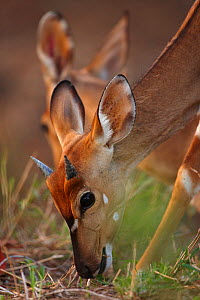 Young male Nyala (Tragelaphus angasi) grazing in the bush, Kruger National Park, South Africa  -  David Noton