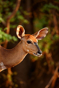 Female Nyala (Tragelaphus angasi) in the bush, Kruger National Park, South Africa  -  David Noton