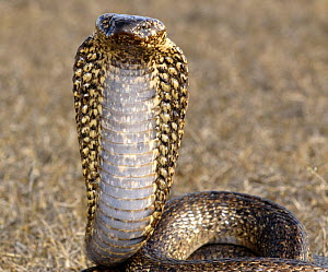 Male Cape cobra snake (Naja nivea) dark speckled variety, De Hoop Nature reserve, Western Cape, South Africa - Tony Phelps