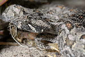 Male Southern adder snake (Bitis armata) De Hoop Nature reserve, Western cape, South Africa  -  Tony Phelps