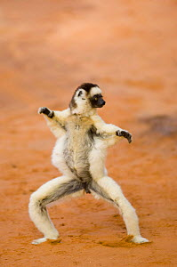 Verreaux's Sifaka (Propithecus verreauxi verreauxi) 'dancing' as it crosses open ground, Berenty Private Reserve, south Madagascar, May  -  Inaki Relanzon