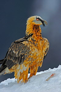 Lammergeier (Gypaetus barbatus) portrait, Cebollar, Torla, Aragon, Spain, November 2008  -  Wild Wonders of Europe / Elander
