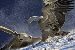 Griffon vultures (Gyps fulvus) fighting over food, Cebollar, Torla, Aragon, Spain, November 2008.  -  Wild Wonders of Europe / Elander