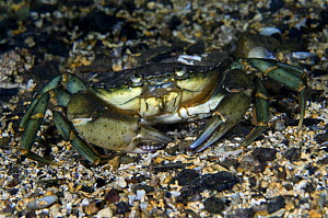 Common shore crab (Carcinus maenas) on seabed, Lofoten, Norway, November 2008  -  Wild Wonders of Europe / Lundgren