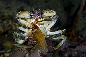 Common shore crab (Carcinus maenas) feeding, Lofoten, Norway, November 2008  -  Wild Wonders of Europe / Lundgren
