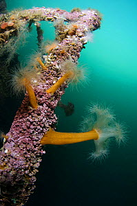 Plumose sea anemones (Metridium senile) on a ship wreck, Lofoten, Norway, November 2008  -  Wild Wonders of Europe / Lundgren
