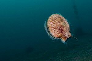 Queen scallop (Chlamys / Aequipecten opercularis) swimming, Lofoten, Norway, November 2008 - Wild Wonders of Europe / Lundgren
