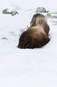 Rear view of Muskox (Ovibos moschatus) lying in snow, Dovrefjell National Park, Norway, February 2009  -  Wild Wonders of Europe / Munier