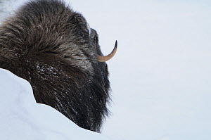 Rear view of Muskox (Ovibos moschatus) behind snow bank, Dovrefjell National Park, Norway, February 2009  -  Wild Wonders of Europe / Munier