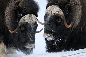 Two Muskox (Ovibos moschatus) in snow, Dovrefjell National Park, Norway, February 2009  -  Wild Wonders of Europe / Munier