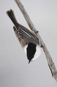 Willow tit (Poecile montanus) on small branch, Kitkajoki, Finland, February 2009  -  Wild Wonders of Europe / Zacek