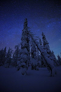 Snow covered conifers at night, Riisitunturi National Park, Finland, February 2009  -  Wild Wonders of Europe / Zacek