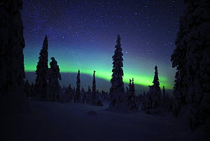Northern lights, in snow covered forest, Riisitunturi National Park, Finland, February 2009  -  Wild Wonders of Europe / Zacek