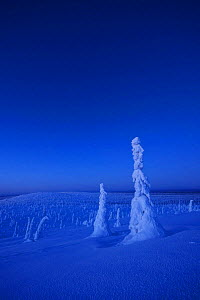 Snow covered trees, Riisitunturi National Park, Finland, February 2009  -  Wild Wonders of Europe / Zacek