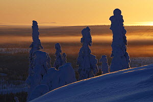 Snow covered trees at sunset, Riisitunturi National Park, Finland, February 2009  -  Wild Wonders of Europe / Zacek