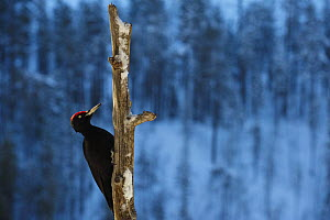 Black woodpecker (Dryocopos martius) on dead tree trunk, Korouma, Posio, Finland, February 2009 - Wild Wonders of Europe / Zacek