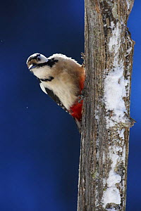 Great spotted woodpecker (Dendrocopos major) on dead tree trunk, Korouma, Posio, Finland, February 2009 - Wild Wonders of Europe / Zacek