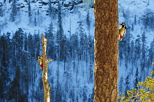 Two Great spotted woodpeckers (Dendrocopos major) on tree trunks, Korouma, Posio, Finland, February 2009 - Wild Wonders of Europe / Zacek