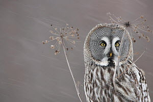 Female Great grey owl (Strix nebulosa) on hogweed in snow, Oulu, Finland, February 2009 - Wild Wonders of Europe / Zacek