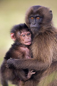 Gelada baboon (Theropithecus gelada) infant 18-24 months cradles a 'infant' (1 month) offering protection while mother is away, Simien Mountains National Park, Ethiopia, November - Fiona Rogers