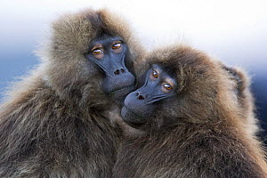 Young male Gelada baboons (Theropithecus gelada) keeping close for warmth, Simien Mountains National Park, Ethiopia, November - Fiona Rogers