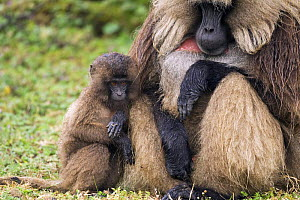 Gelada baboon (Theropithecus gelada) mature male and juvenile huddled together from the rain, Simien Mountains National Park, Ethiopia, November  -  Fiona Rogers