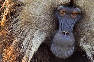 Gelada baboon (Theropithecus gelada) mature male, portrait, Simien Mountains National Park, Ethiopia, November  -  Fiona Rogers