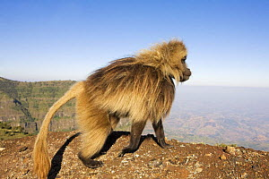 Gelada baboon (Theropithecus gelada) male walking, Simien Mountains National Park, Ethiopia, November  -  Anup Shah