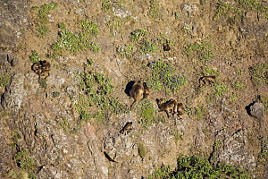 Gelada baboon (Theropithecus gelada) group clinging to cliff face, sleeping site, Simien Mountains National Park, Ethiopia, November - Anup Shah