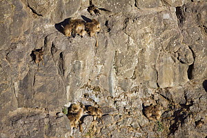 Gelada baboon (Theropithecus gelada) group clinging to cliff face sleeping site, Simien Mountains National Park, Ethiopia, November - Anup Shah