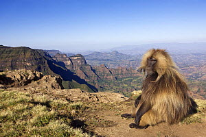 Gelada baboon (Theropithecus gelada) mature male sitting on the cliff edge, Simien Mountains National Park, Ethiopia, November  -  Anup Shah