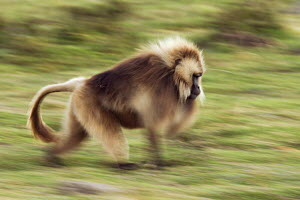 Gelada baboon (Theropithecus gelada) male running, Simien Mountains National Park, Ethiopia, November  -  Anup Shah
