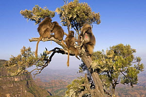 Gelada baboons (Theropithecus gelada) sitting in a tree, Simien Mountains National Park, Ethiopia, November  -  Anup Shah